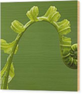 Rainforest Fern Unfurling Sabah Borneo Wood Print