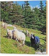 Ram And Ewes Wood Print