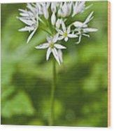 Ramsons Wild Garlic Allium Ursinum Wood Print