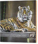 Ranu The Sumatran Tiger Wood Print by Shannon Rogers