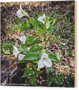 Rare Great White Trilliums Wood Print