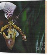Rare Orchid - Paphiopedilum Gratrixianum Wood Print