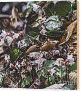 Rare Spring Beauty Wood Print