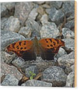 Rarely-sighted Butterfly Species Wood Print