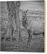 Raspberry Elk Black And White Wood Print