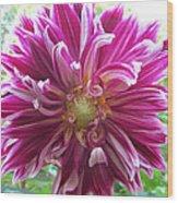 Raspberry Sundae Dahlia Wood Print