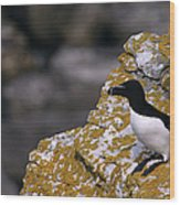 Razorbill Bird Wood Print