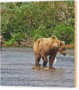 Ready To Pounce On A Salmon  In The Moraine River In Katmai National Preserve-ak Wood Print