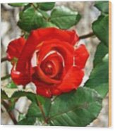 Red And Cream Rose Wood Print