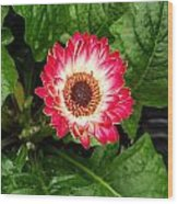 Red And White Gerber Daisy Wood Print
