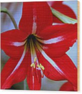 Red And White Lilly Wood Print by Debra Forand