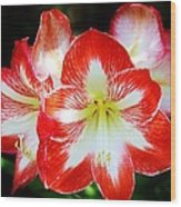 Red And White Amaryllis Wood Print