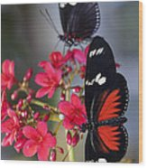 Red And White Longwing Butterflies  Wood Print