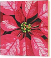 Red And White Poinsettia Wood Print