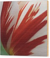 Red And White Tulip  Wood Print