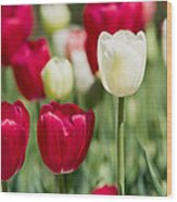 Red And White Tulips Wood Print