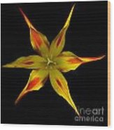 Red And Yellow Spiked Tulip Wood Print