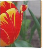 Red And Yellow Tulip Wood Print