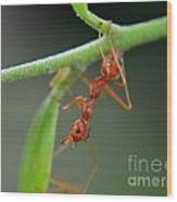 Red Ant Wood Print