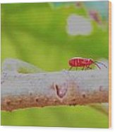 Red Aphid On A Limb Wood Print