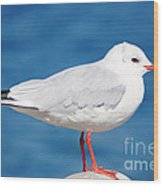 Red-beaked Seagull Resting On The Port Wood Print
