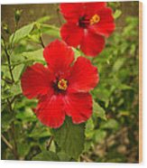 Red - Beautiful Hibiscus Flowers In Bloom On The Island Of Maui. Wood Print
