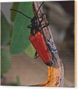 Red Beetle Rising Wood Print