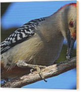 Red-bellied Woodpecker Catching Grub Wood Print