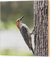 Red-bellied Woodpecker Wood Print