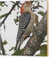 'red-bellied Woodpecker' Melanerpes Carolinus  Wood Print