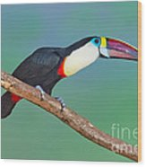 Red-billed Toucan Wood Print