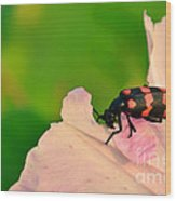 Red Blister Beetle Wood Print