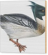 Red-breasted Merganser Wood Print by Anonymous