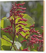Red Buckeye - Aesculus Pavia - Wildflowers Wood Print