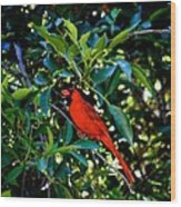 Red Cardinal 1 Wood Print