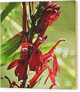 Red Cardinal Flower Wood Print