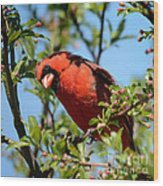 Red Cardinal In Springtime Wood Print