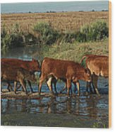 Red Cattle Wood Print