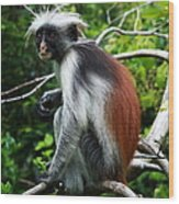 Red Colobus Monkey Wood Print