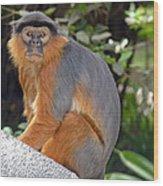 Red Colobus Monkey Wood Print