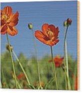 Red Cosmos Flower Wood Print