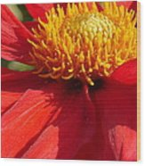 Red Dahlia Coccinea Wood Print