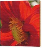 Red Dahlia Elegance Wood Print