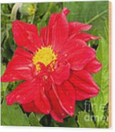 Red Dahlia Flower Wood Print