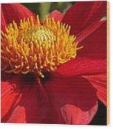 Red Dahlia Starlet Wood Print