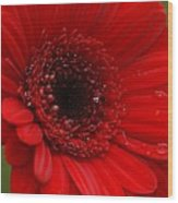 Red Daisy Wood Print