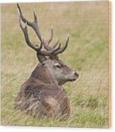 Red Deer  Cervus Elaphus Wood Print