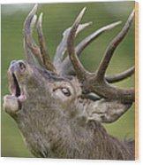 Red Deer Cervus Elaphus Stag Bugling Wood Print