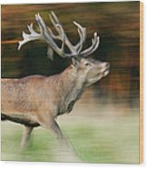 Red Deer Cervus Elaphus Stag Running Wood Print