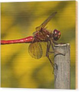Red Dragonfly Waiting Wood Print